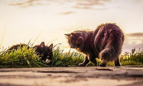 Wie gefährden Streunerkatzen meine eigene Hauskatze?